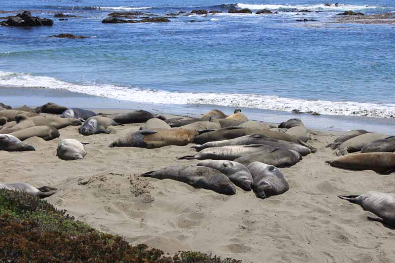 Elephant seals napping on the beach