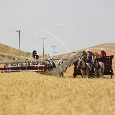 Harvesting wheat with mules - Theresa Sheridan Designs