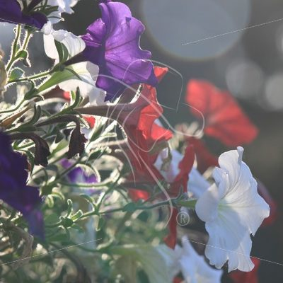 Petunias with bokeh effect - Theresa Sheridan Designs
