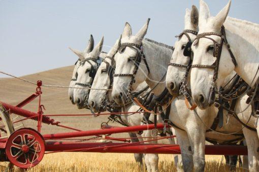 Team of 6 gray mules - Theresa Sheridan Designs