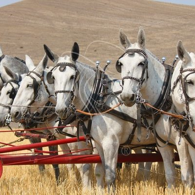 Team of 6 mules pushing a header - Theresa Sheridan Designs