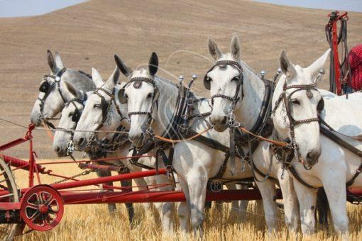 Team of 6 mules pushing a header - Theresa Sheridan Designs