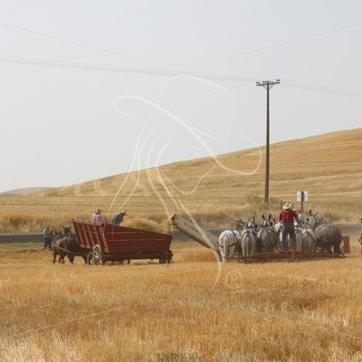 Threshing wheat with mules - Theresa Sheridan Designs