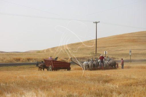 Threshing wheat with mules - Theresa Sheridan Designs