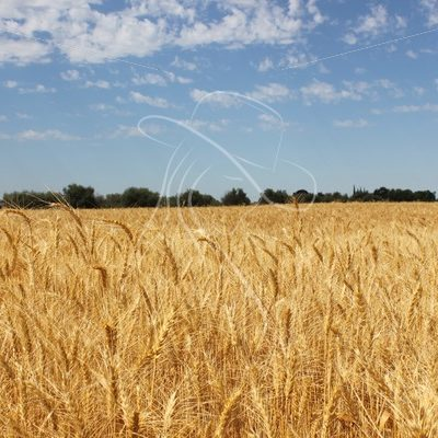 Wheat field and blue sky - Theresa Sheridan Designs