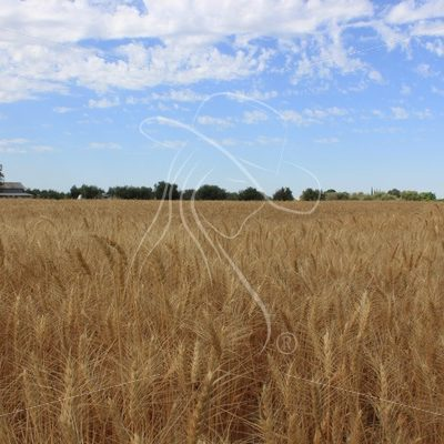 Wheat field with barn in background - Theresa Sheridan Designs