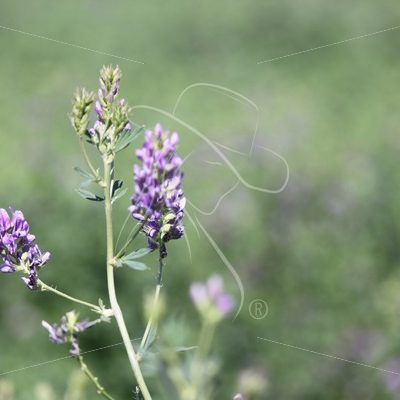 Alfalfa flower - Theresa Sheridan Designs