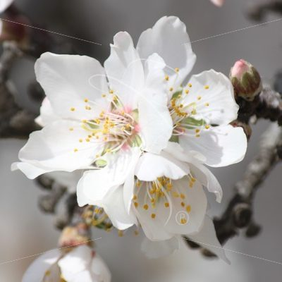 Almond blossom and bud - Theresa Sheridan Designs