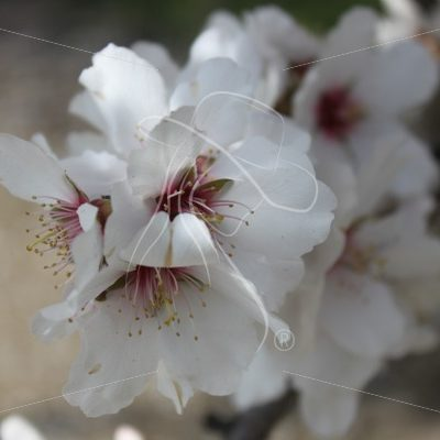 Almond blossom closeup - Theresa Sheridan Designs
