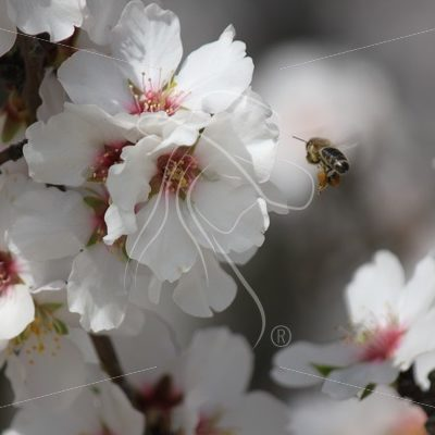 Almond blossom with bee hovering in front - Theresa Sheridan Designs