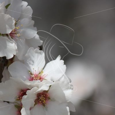 Almond blossoms - Theresa Sheridan Designs