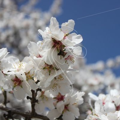Almond blossoms with blue sky in the background - Theresa Sheridan Designs