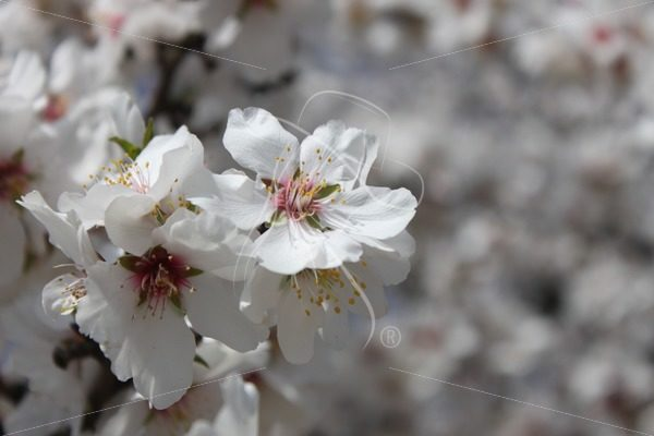 Almond blossoms with bokeh effect - Theresa Sheridan Designs