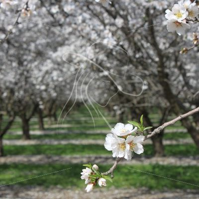 Almond orchard blossoms - Theresa Sheridan Designs