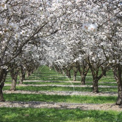 Almond orchard in bloom - Theresa Sheridan Designs