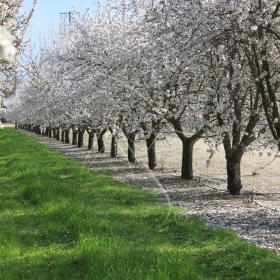 Almond orchard row - Theresa Sheridan Designs