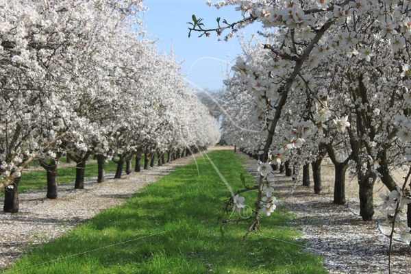 Almond orchard row with stray branch - Theresa Sheridan Designs
