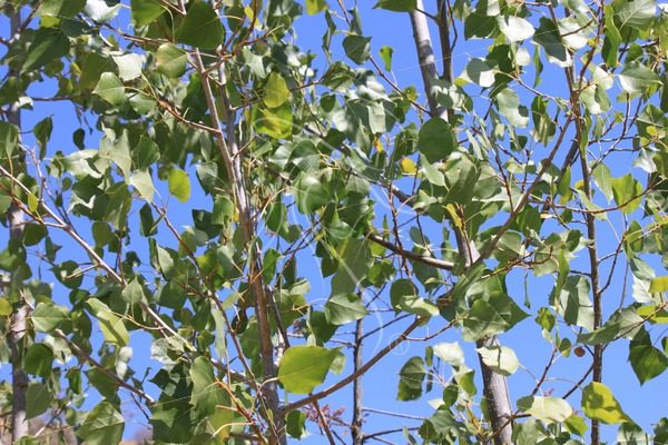 Aspen leaves against a blue sky - Theresa Sheridan Designs