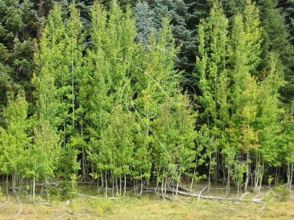 Aspen trees at the edge of a mountain meadow - Theresa Sheridan Designs