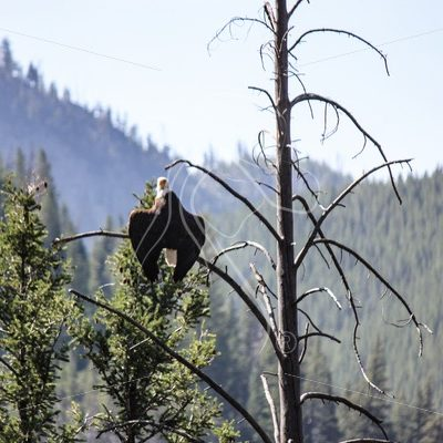 Bald eagle perched in tree top - Theresa Sheridan Designs