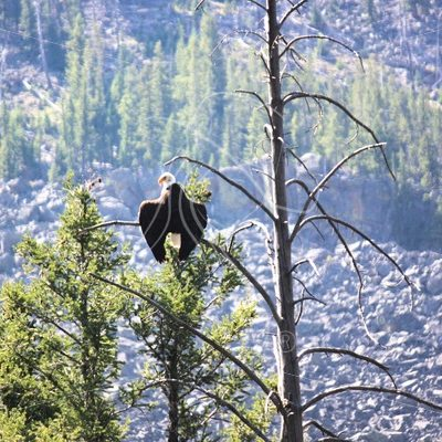 Bald eagle perched on branch - Theresa Sheridan Designs