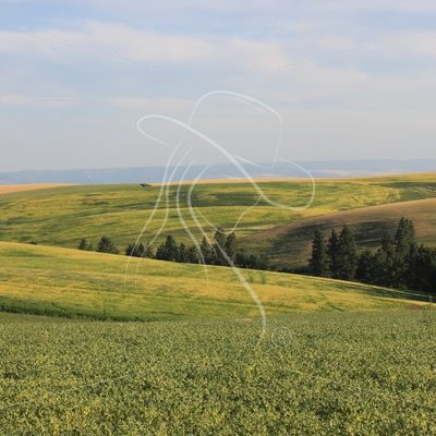 Bean and wheat fields in the Palouse - Theresa Sheridan Designs