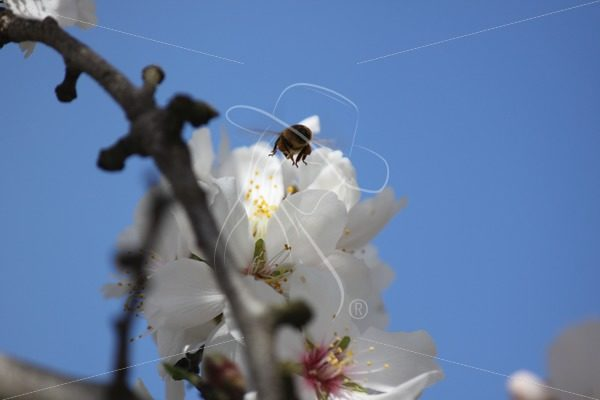 Bee hovering over an almond blossom - Theresa Sheridan Designs