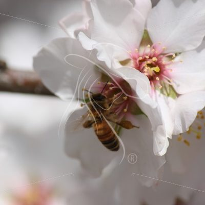 Bee pollinating an almond blossom - Theresa Sheridan Designs