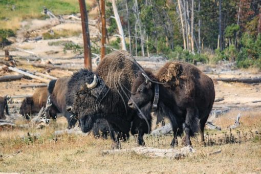 Bison bull and cow looking off into the distance - Theresa Sheridan Designs