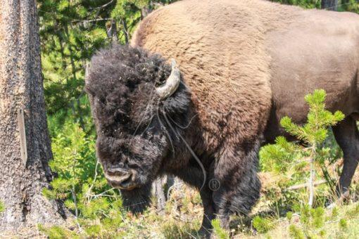Bison bull in the woods - Theresa Sheridan Designs