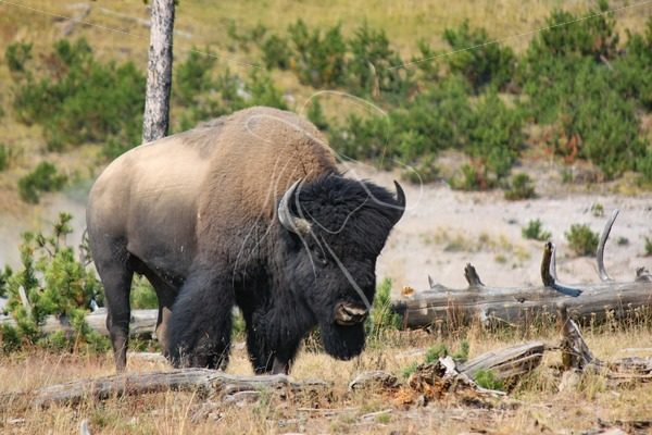 Bison bull looking up from grazing - Theresa Sheridan Designs