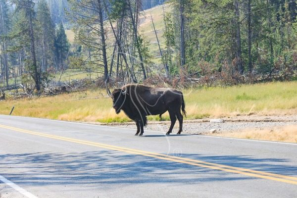 Bison bull standing in the highway at Yellowstone - Theresa Sheridan Designs