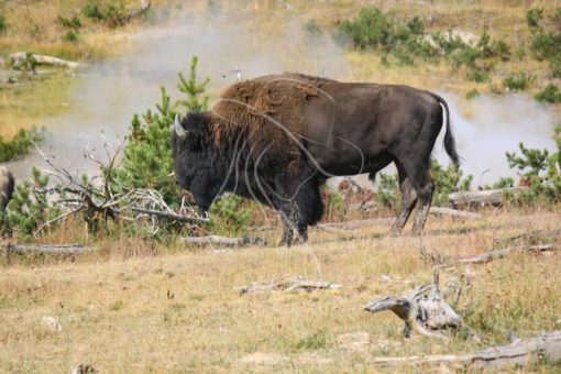 Bison bull standing near his herd - Theresa Sheridan Designs