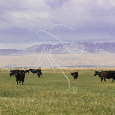 Black cattle grazing in green pasture - Theresa Sheridan Designs