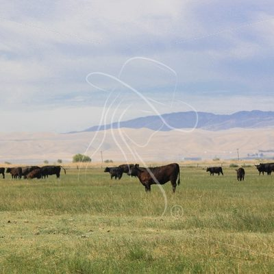 Black cattle grazing in pasture - Theresa Sheridan Designs