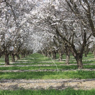 Blossoming Almond Orchard - Theresa Sheridan Designs