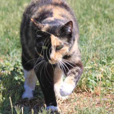 Calico cat with half orange face walking on lawn - Theresa Sheridan Designs