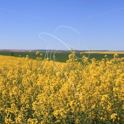 Canola field - Theresa Sheridan Designs