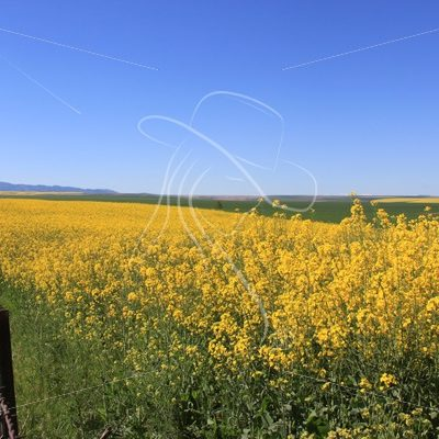 Canola field along a gravel road - Theresa Sheridan Designs