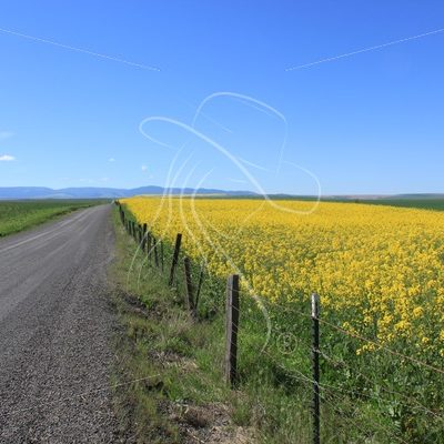 Canola field and country road - Theresa Sheridan Designs