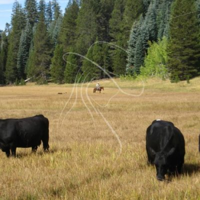 Cattle in meadow with cowboy in background - Theresa Sheridan Designs