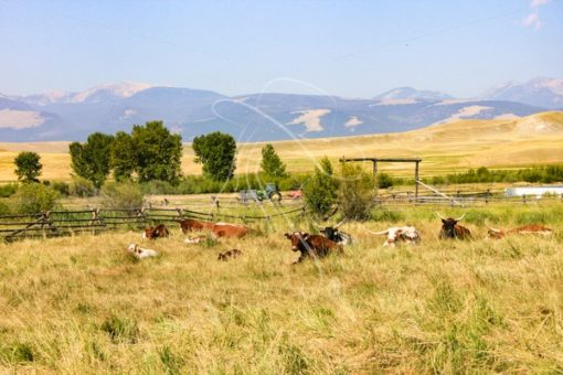 Cattle resting in pasture - Theresa Sheridan Designs