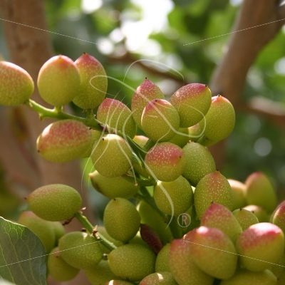 Close up of pistachio cluster on a branch - Theresa Sheridan Designs