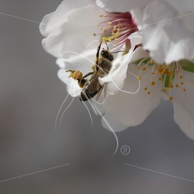 Closeup of a bee pollinating an almond blossom - Theresa Sheridan Designs