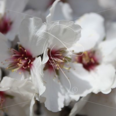 Closeup of almond blossom and stems - Theresa Sheridan Designs