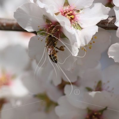 Closeup of bee pollinating an almond blossom - Theresa Sheridan Designs