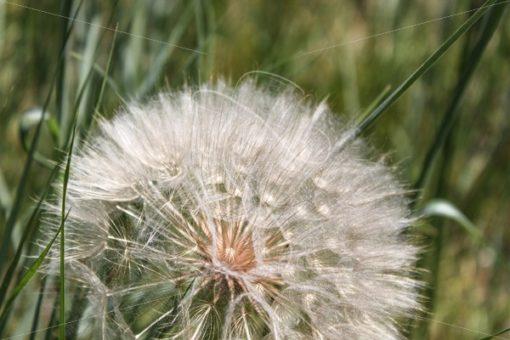 Closeup of dandelion - Theresa Sheridan Designs