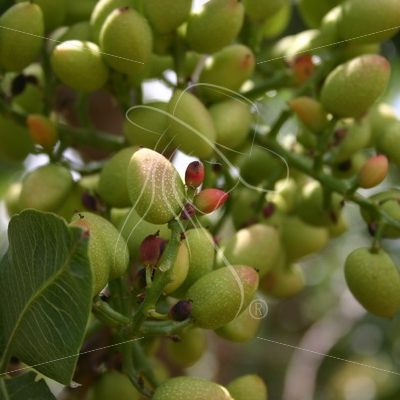 Closeup of pistachio nuts and buds on a tree - Theresa Sheridan Designs