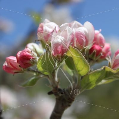 Cluster of pink blooms on a tree - Theresa Sheridan Designs