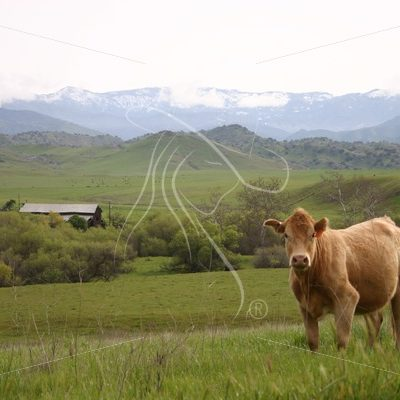 Cow looking at camera with barn in background - Theresa Sheridan Designs